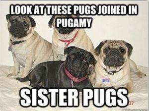 sister pugs